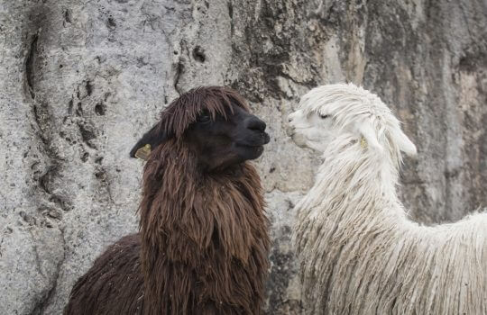 Alpacas Incas Ruins In The Peruvian Andes
