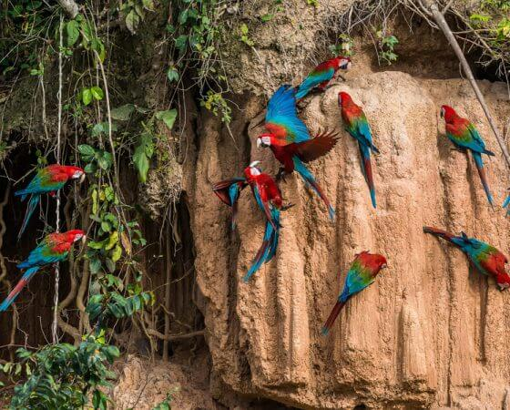 Los Organos, Peru – Rainforest Birds