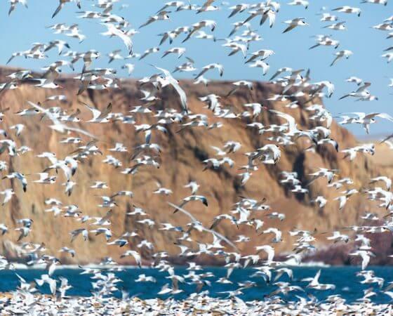 Los Organos, Peru – Elegant Terns